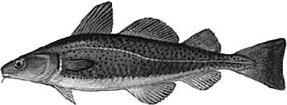 Cod-Lutefisk-Torsk