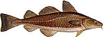 Fish-Cod-77